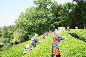韮山反射炉 茶摘み体験