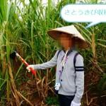 沖縄 さとうきび収穫体験